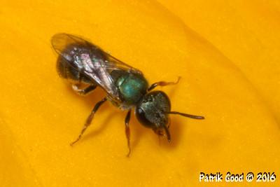 Small Metallic-green Bee