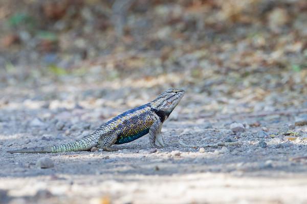 Desert Spiny-tailed Lizard