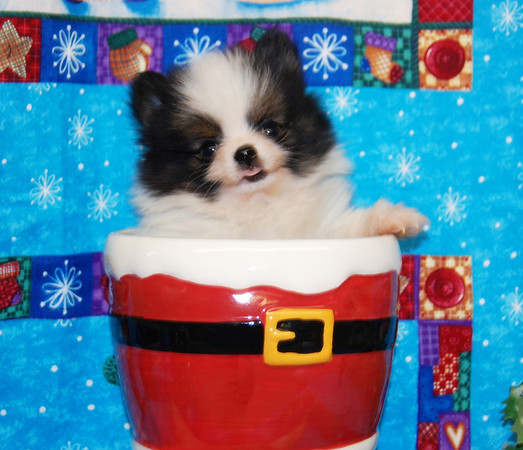 "Puppy Number # POM 965 Party Color SOLD TO TIFFANY T. HIS NAME IS ""SPENCER"""