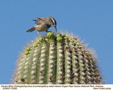 CactusWrenA72993.jpg