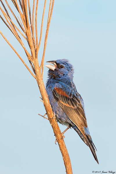 Blue Grosbeak, Passerina caerulea