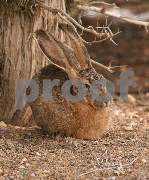 Jack rabbit 2885c.jpg