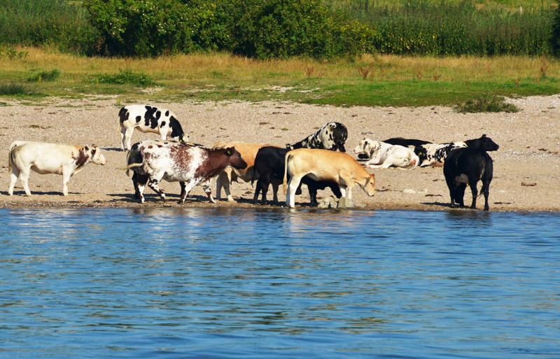 Rhine Livestock05.jpg