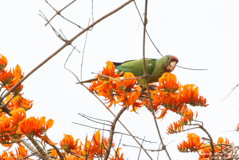Scarlet-fronted Parakeet - Minca, Colombia
