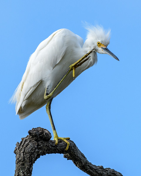 Snowy Egret - just an itch