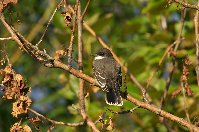 Eastern Kingbird [September; Park Point, Duluth, Minnesota]
