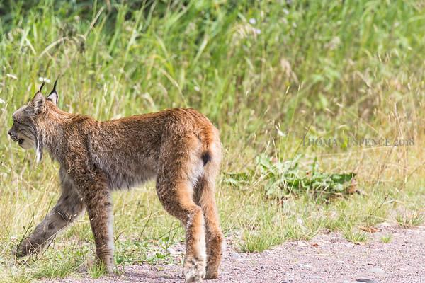 Lynx - Minnesota