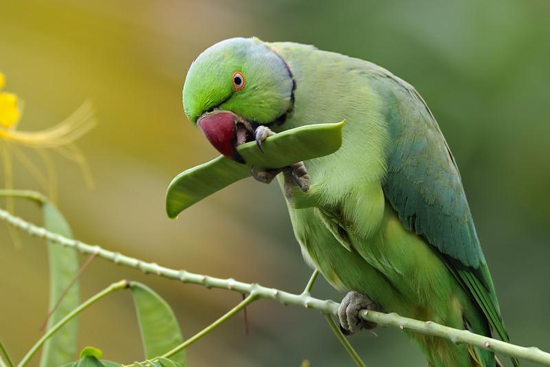 Rose-ringed-Parakeet-01.jpg