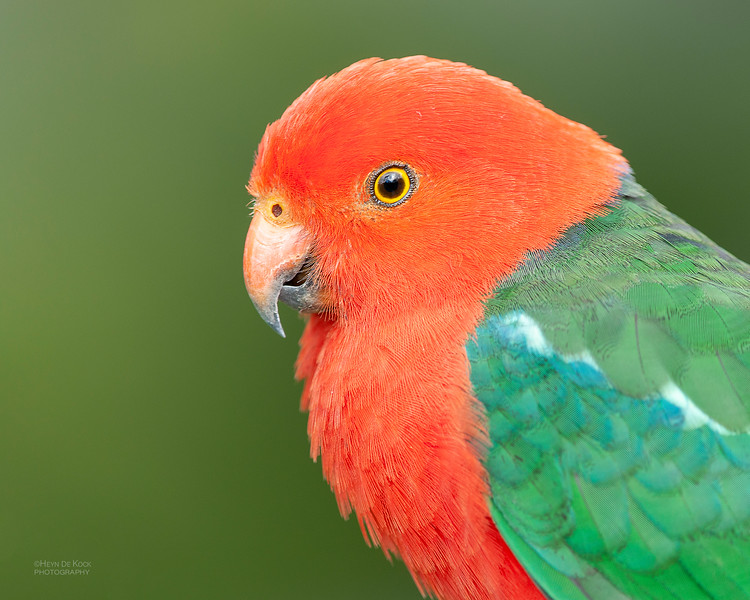 Australian King Parrot, Lamington NP, QLD, Feb 2011.jpg