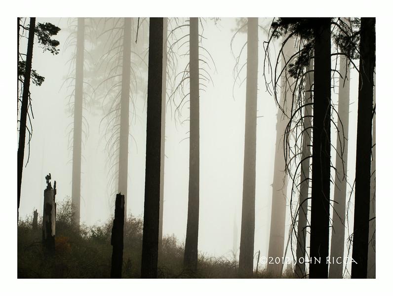 Burned Forest In Fog.jpg