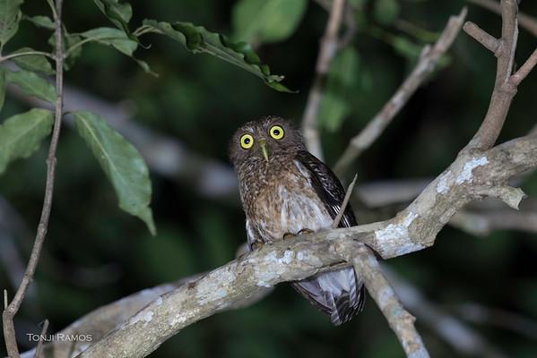 Romblon Hawk Owl