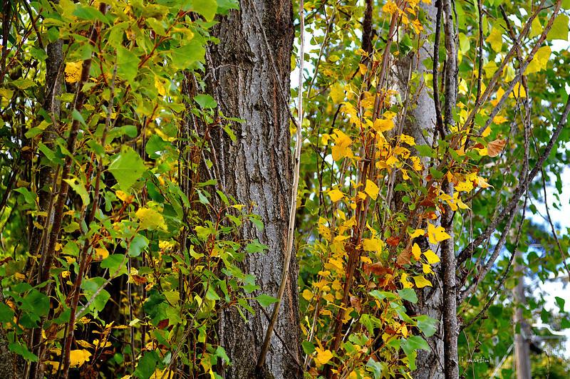 poplars 10-30-2010.jpg