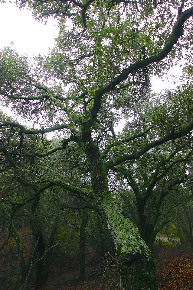 Moss Covered Oak Trees Above Santa Barbara