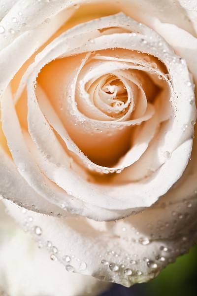 1 dewwy rose-20140403-134030.jpg