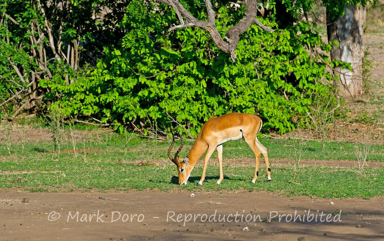 Impala, Selous, Tanzania