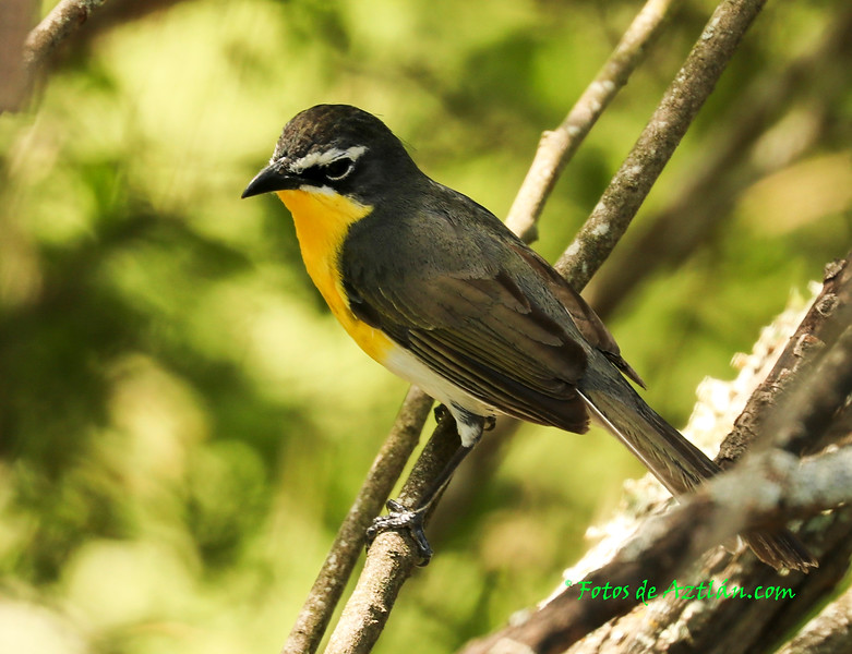 Yellow-breasted Chat IMG_8924.jpg
