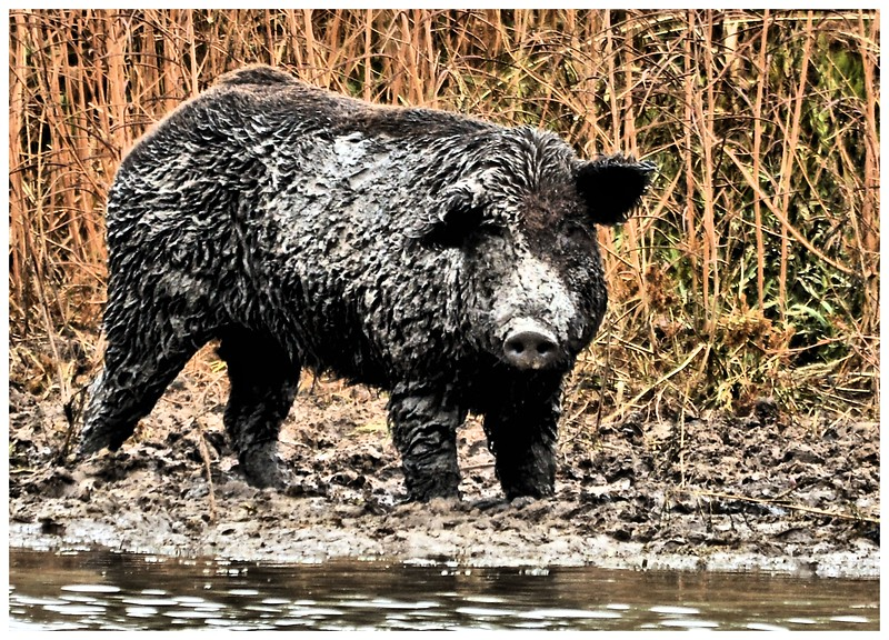 Mammal - Ferrel Hog.jpg