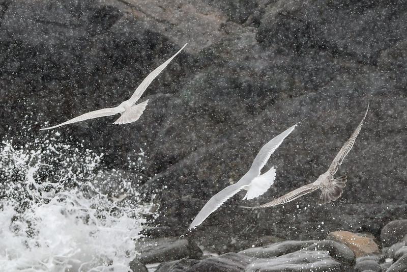 Glaucous Gull with Herring Gulls