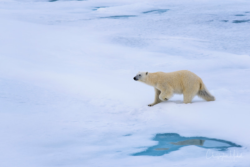 Polar Bear walking in snow 2.jpg