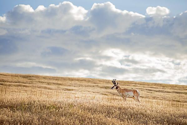 Wildlife at Antelope Island