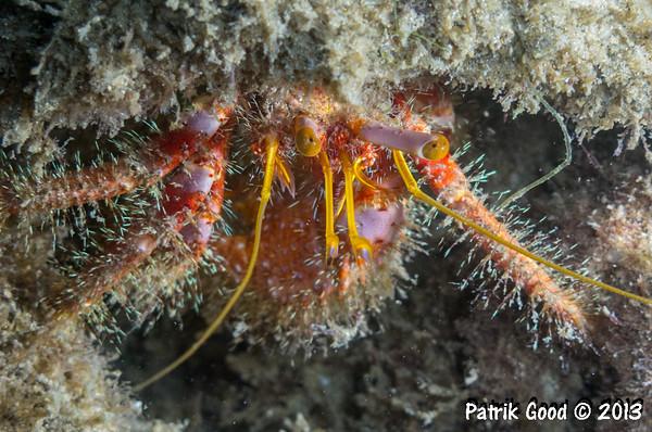 Mauve-eyed Hermit Crab