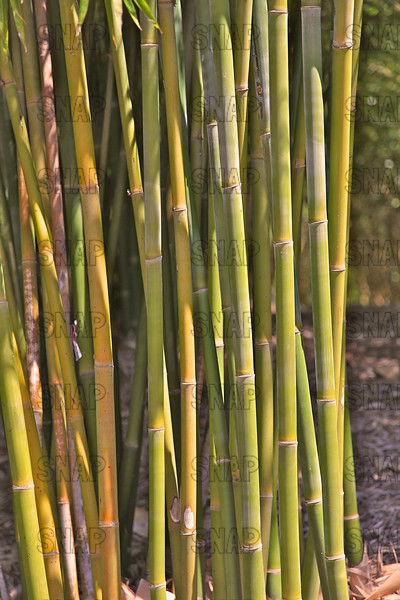 Wong Chuk; Royal Bamboo; Clumping Bamboo; Kanapaha Weaver's Bamboo; Weaver's Bamboo (Bambusa textilis 'Kanapaha'); native to China, at the Jacksonville Zoo and Gardens.