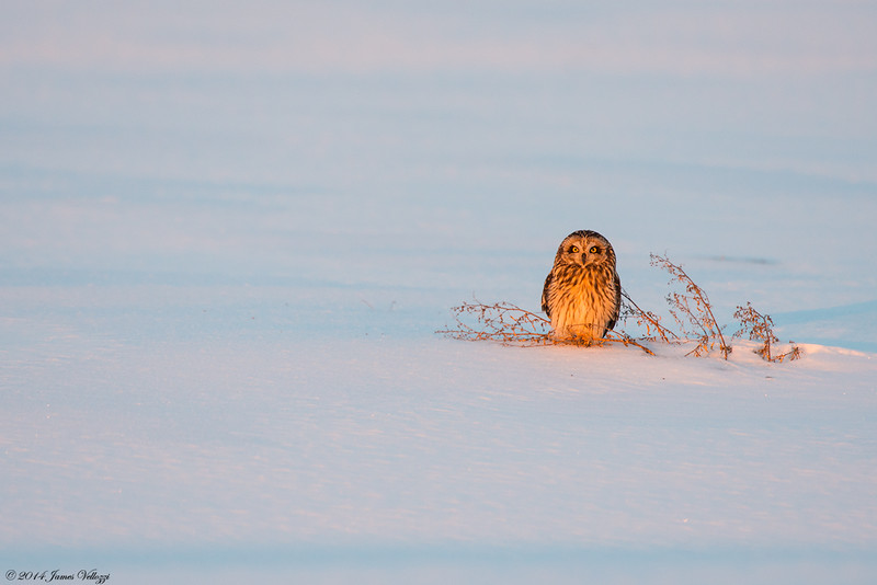 Short eared Owl, Asio flammeus