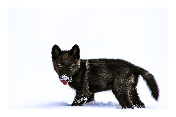 The Wolf Pup - Canis Lupus