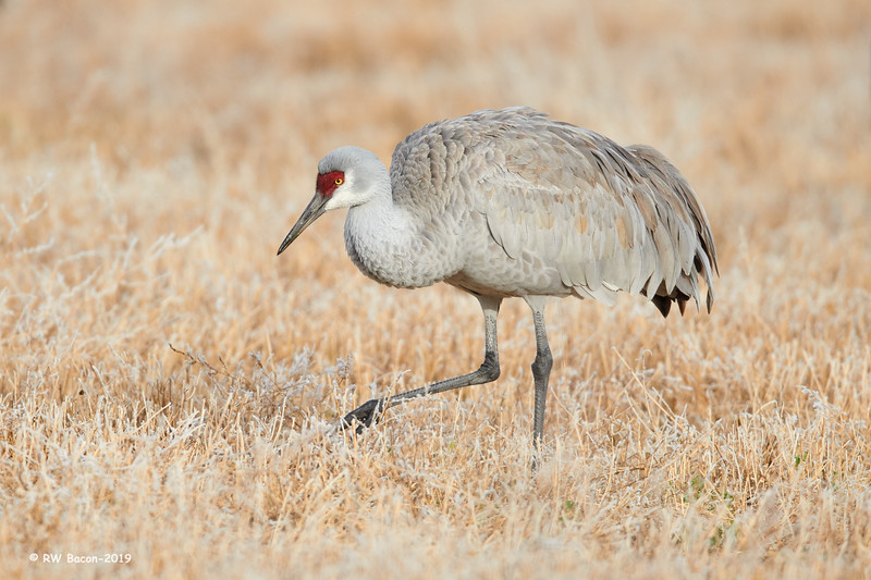 Sandhill in Frosty Grass.jpg