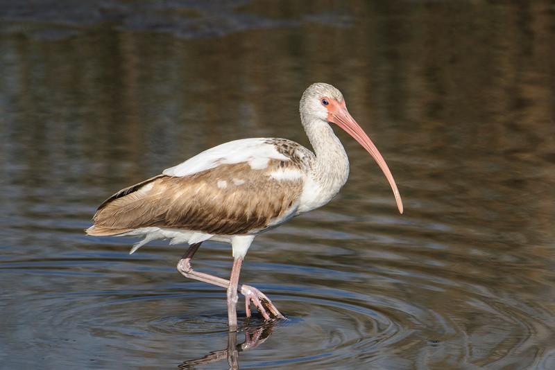 Ibis - White - juvenile - St. Marks NWR - FL