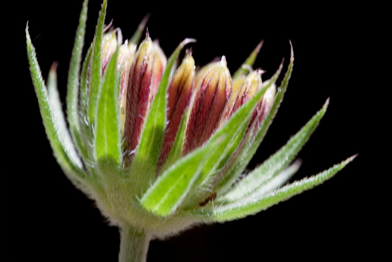 indian blanket flower bud