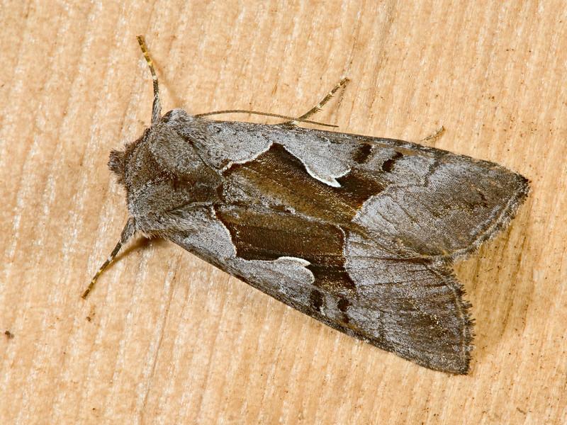 Large Looper Moth