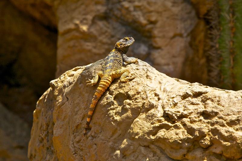 Stellion Agamad Lizard