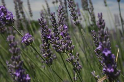 Lavender Fields forever 6-13-12