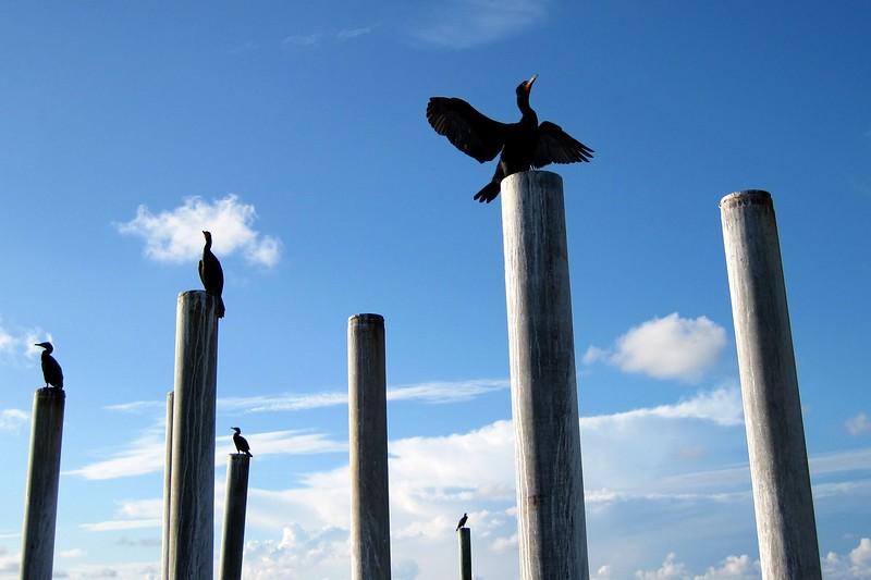 cormorants on pilings