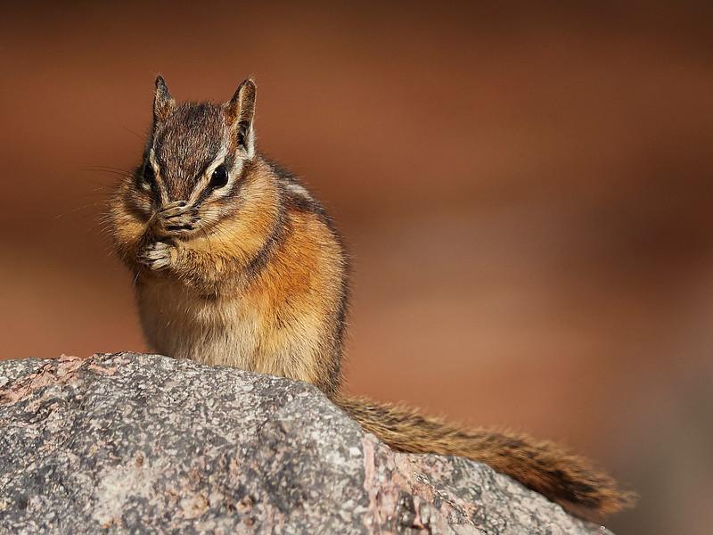 Chipmunk - a bit bashful