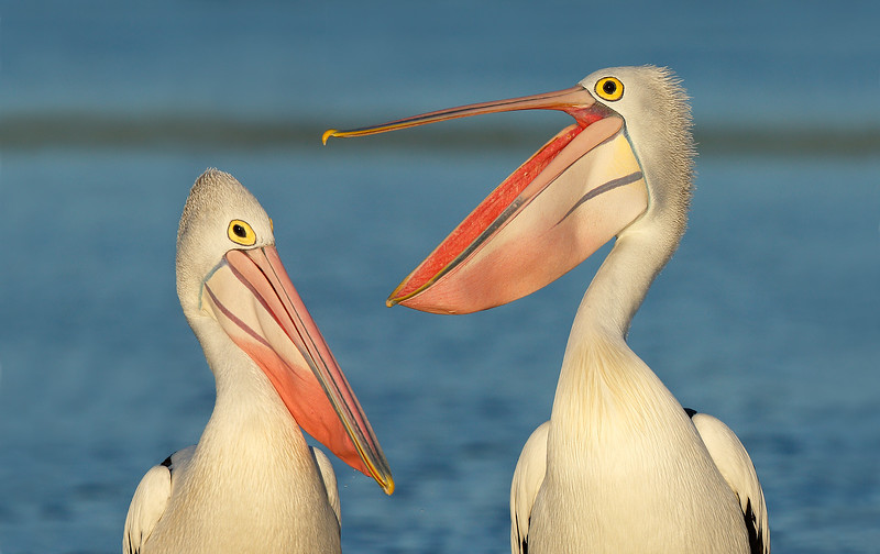 Pelican pair MASTER.jpg