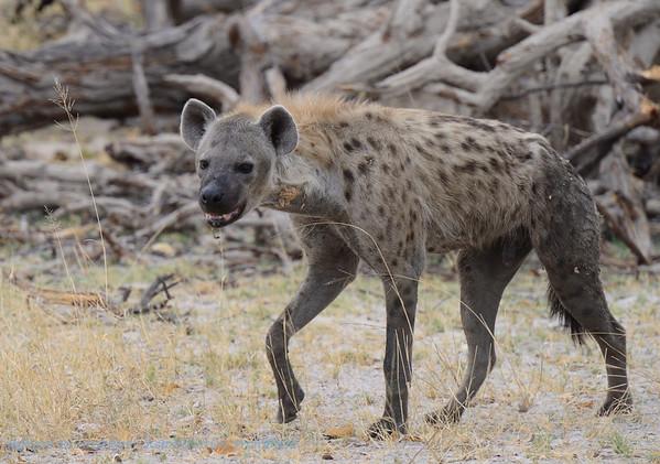 Hyena; Botswana; Okavango; Spotted hyena; Crocuta crocuta; Gevlekte hiëna; Tüpfelhyäne; Hyène tachetée; Gevlekte hyena