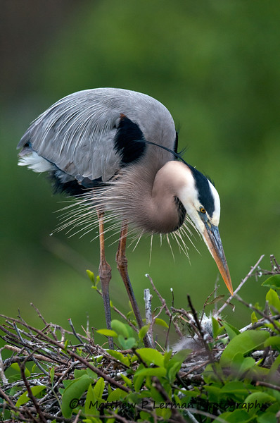 Great Blue Heron_5907 (2).jpg