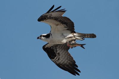 Wellfleet Ospreys May 2011