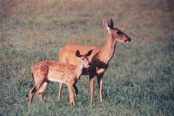 Deer stills