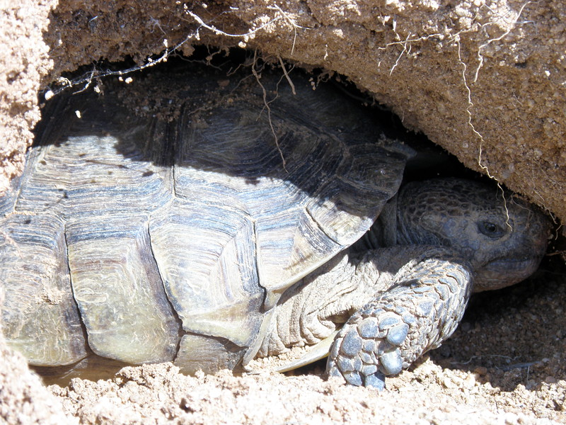 Tortoise Barely Fits the Den