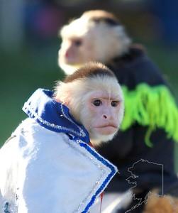 white headed capuchin monkeys