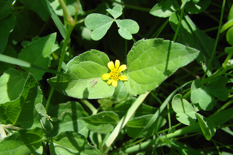 Calyptocarpus vialis / Horse Herb (perennial, Texas native) 7/7/07