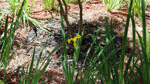 April 11 - May 1:  Tracking the irises .  .  .