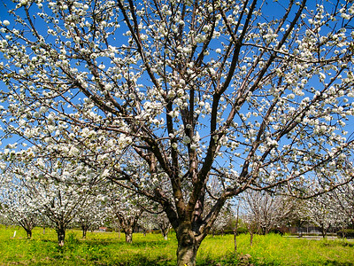 Cherry blossom at an orchard in Saratoga.