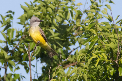 Kingbird, Couch's