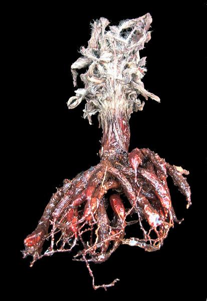 Pelargonium ellaphiae tuber