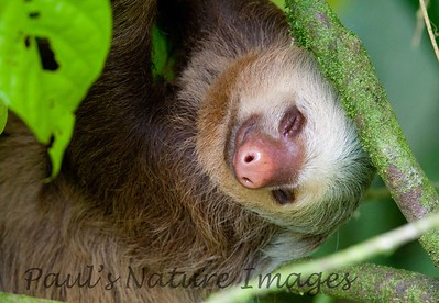 Two-fingered Sloth