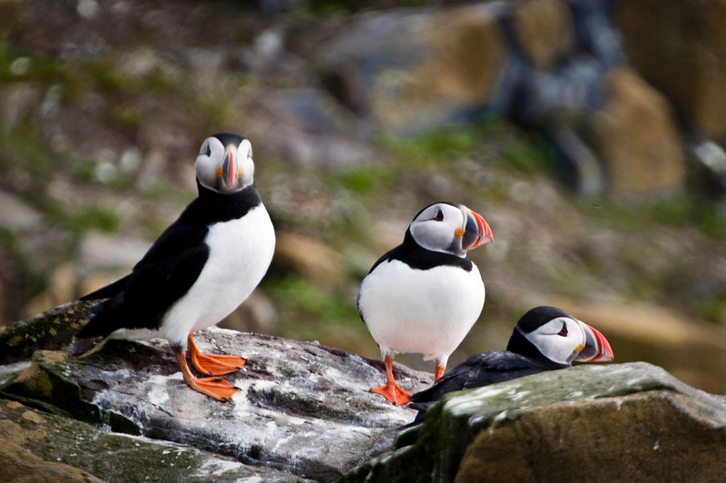 Farne Islands - Puffins-7702-Edit.jpg